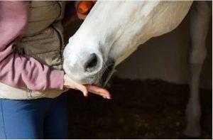 Header blog: Bedelgedrag, zo los je het op. Paard eet voerbeloning uit hand, hand voeren, schimmel, clickertraining, positieve bekrachtiging, paardentrainin