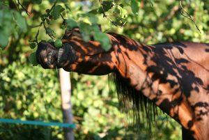Header: HANDIG: 80 groente- en fruitsoorten voor je paard! Je paard eet in de natuur heel afwisselend: van grassoorten tot vruchten. Maar welke groente- en fruitsoorten mag je je paard geven?